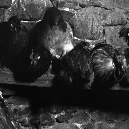 Gruppo di galline 1903