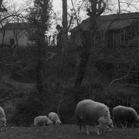 Pecore al pascolo 1905