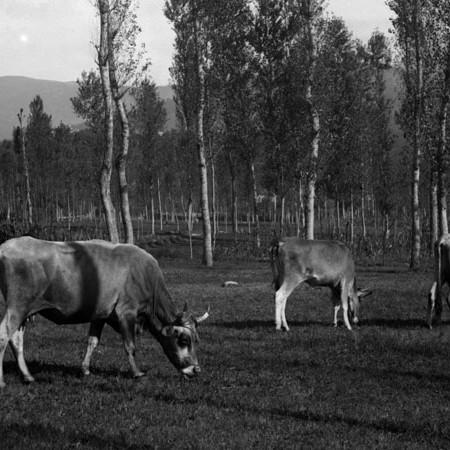 Mucche al pascolo nei prati di Filattiera 1906